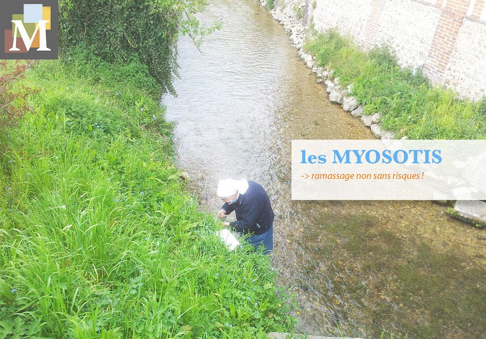 Ramassage non sans risques des myosotis