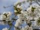 fleurs-printemps