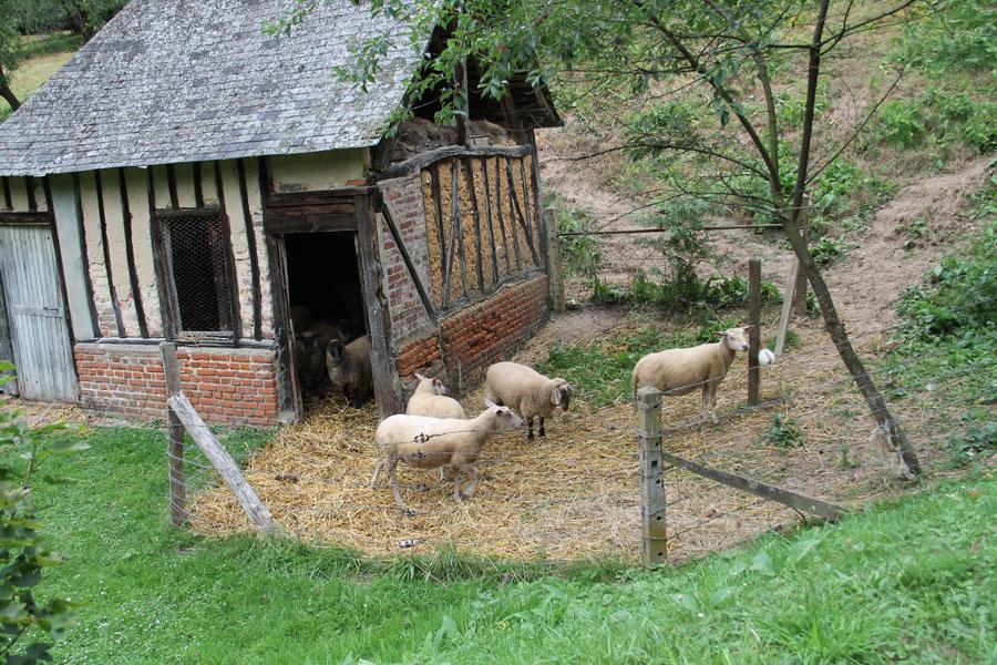 Moutons qui pâturent au monastère sainte Françoise