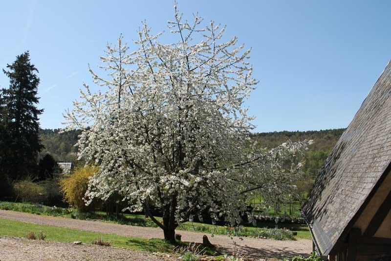 cerisier en fleur au monastere