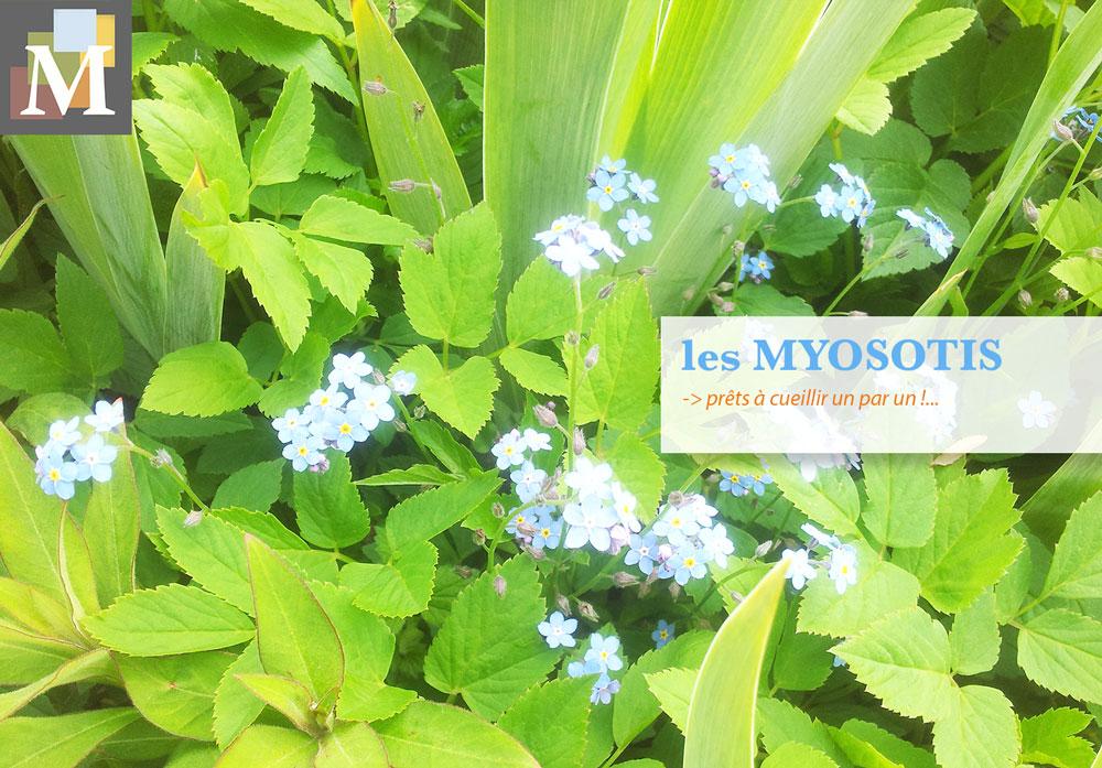La délicate cueillette des Myosotis, fleur par fleur